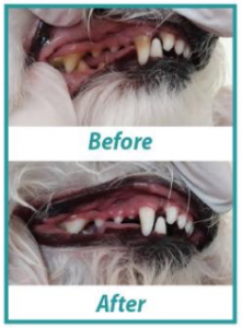 Dog Teeth Cleaning Weymouth